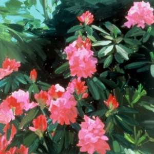 Pink Rhododendrum
